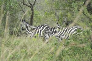 Zebra im Lake Mburu National Park