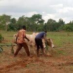 Uganda Ochsenpflüge